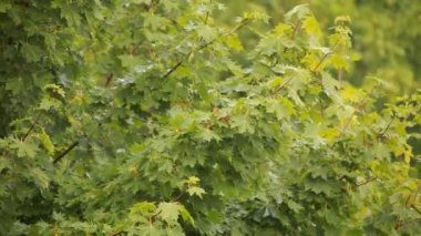 Maple branch swaying in wind — Stock Video