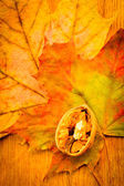 Walnut on colorful autumn leaves — Stock Photo