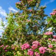 Bloosoming flowers of hawthorn tree — Stock Photo #54710987