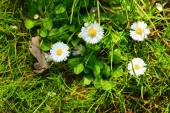 Daisies flowers in grass. — Stock Photo