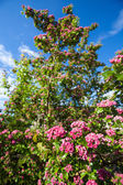 Bloosoming flowers of hawthorn tree — Stock Photo