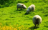 Sheeps on beautiful mountain meadow — Stock Photo