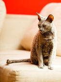 Egyptische mau kat — Stockfoto