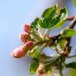 Pink blossoms on apple tree — Stock Photo #54935337