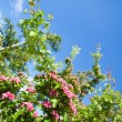 Bloosoming flowers of hawthorn tree — Stock Photo #55330635
