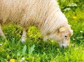Sheep on mountain meadow — Stock Photo