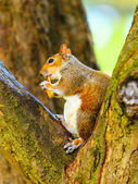 Squirrel in park eating apple — Foto de Stock