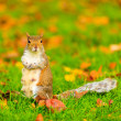 Squirrel in autumn park — Stock Photo #56015703