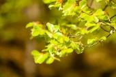 Green leaves on branch of hazelnut — Stock Photo