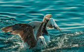 Seagull birds fishing in sea — Stock Photo