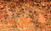 Brick wall and dry ivy leaves — Stock Photo