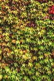Wall overgrown with ivy leaves — Stock Photo