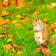 Grey squirrel in autumn park — Stock Photo #56507833