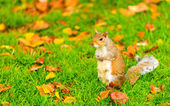 Grey squirrel in autumn park — Stock Photo