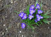 First spring flowers purple crocuses — Stock Photo