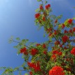 Red rowan berries on tree — Stock Photo #57704395