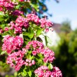 Bloosoming pink flowers of hawthorn tree — Stock Photo #57957089