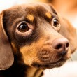 Mixed breed dog — Stock Photo #60230807