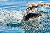 Seagulls  in fight for food — Stock Photo