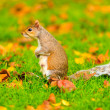 Squirrel in autumn park — Stock Photo #60289321