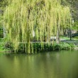 Weeping willow in summer — Stock Photo #61902031