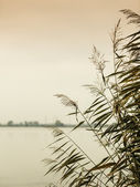 Reeds on lake — Stock Photo