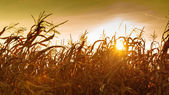 Corn field at the yellow sunset — Stock Photo