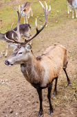 Red deer on meadow — Stock Photo