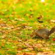 Grey squirrel in autumn park — Stock Photo #62564575