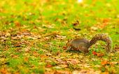 Grey squirrel in autumn park — Zdjęcie stockowe