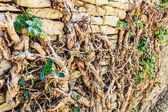 Stone wall with root of tree — Foto Stock