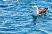Seagull sitting on  water — Stock Photo