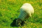 Sheep on mountain meadow — Stock Photo