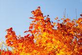 Podzim javory — Stock fotografie