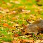 Squirrel in autumn park — Stock Photo #65323181