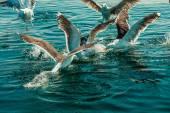 Seagulls fishing in the sea — Stock Photo