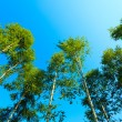 Trees against  blue sky. — Stock Photo #66027527