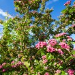 Bloosoming pink flowers of hawthorn tree — Stock Photo #66166441