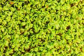 Close up of garden cress — Stock Photo