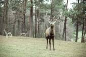 Red deer stag in autumn  forest — Stock fotografie