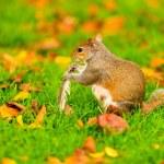 Grey squirrel in autumn park — Stock Photo #68117831