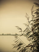 Reeds against water at lake shore — Stock Photo
