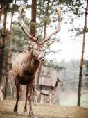 Adult red deer stag in forest — Stock Photo