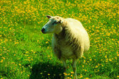 Sheep on pasture on mountain meadow — Stock Photo