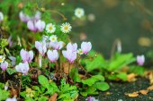 Pink flowers in the garden. Spring or summer — Stock Photo