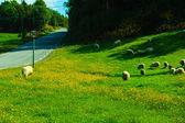 Sheeps on beautiful mountain meadow in Norway — Stock Photo