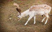 Fallow deer buck at park — Stock Photo