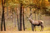 Red deer stag in autumn fall forest — Stock Photo