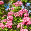 Bloosoming pink flowers of hawthorn tree — Stock Photo #71127781
