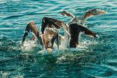 Many seagull birds fishing in the sea — Stock Photo